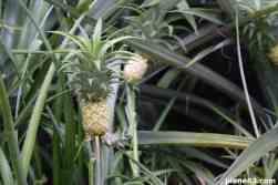 Pineapple Park (3)